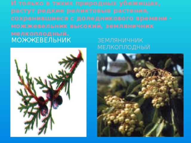 И только в тихих природных убежищах, растут редкие реликтовые растения, сохранившиеся с доледникового времени - можжевельник высокий, земляничник мелкоплодный. Можжевельник Земляничник мелкоплодный