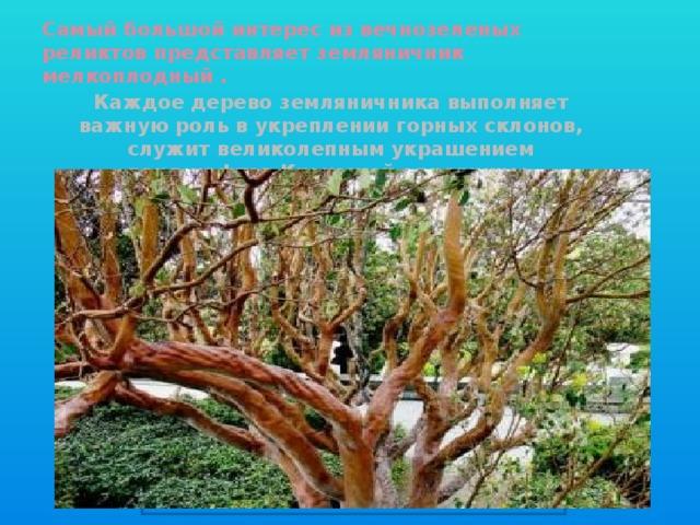 Самый большой интерес из вечнозеленых реликтов представляет земляничник мелкоплодный . Каждое дерево земляничника выполняет важную роль в укреплении горных склонов, служит великолепным украшением ландшафтов Крымской здравницы. Вставка рисунка