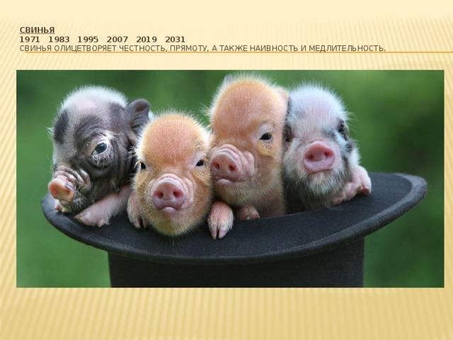 Свинья  1971  1983  1995  2007  2019  2031  Свинья олицетворяет честность, прямоту, а также наивность и медлительность.