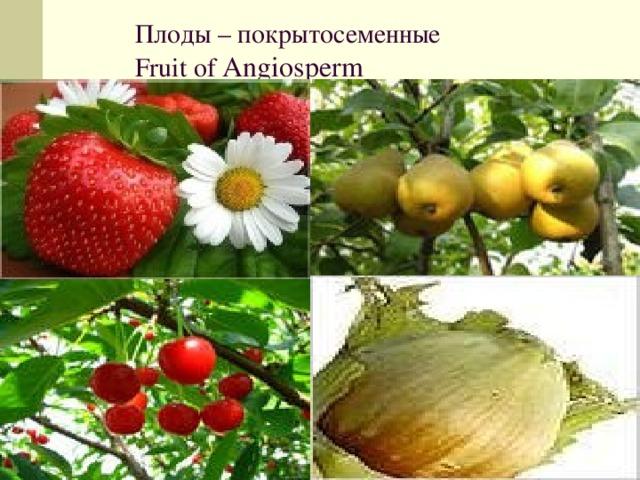 Плоды – покрытосеменные Fruit of Angiosperm