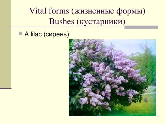 Vital forms ( жизненные формы)  Bushes ( кустарники )