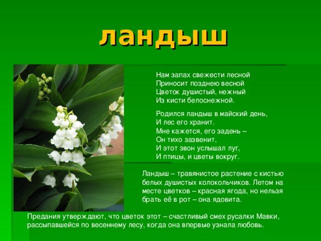 ландыш  Нам запах свежести лесной  Приносит позднею весной  Цветок душистый, нежный  Из кисти белоснежной.  Родился ландыш в майский день,  И лес его хранит.  Мне кажется, его задень –  Он тихо зазвенит,  И этот звон услышал луг,  И птицы, и цветы вокруг.  Ландыш – травянистое растение с кистью  белых душистых колокольчиков. Летом на  месте цветков – красная ягода, но нельзя  брать её в рот – она ядовита. Предания утверждают, что цветок этот – счастливый смех русалки Мавки, рассыпавшейся по весеннему лесу, когда она впервые узнала любовь.