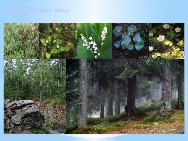Тайга. Еловые леса.