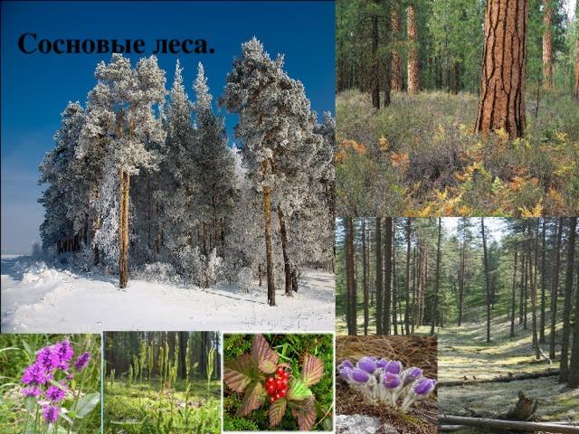 Сосновые леса.
