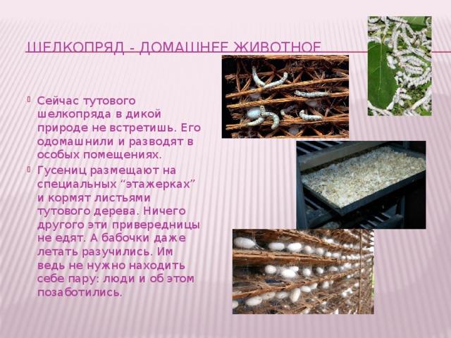Шелкопряд - домашнее животное