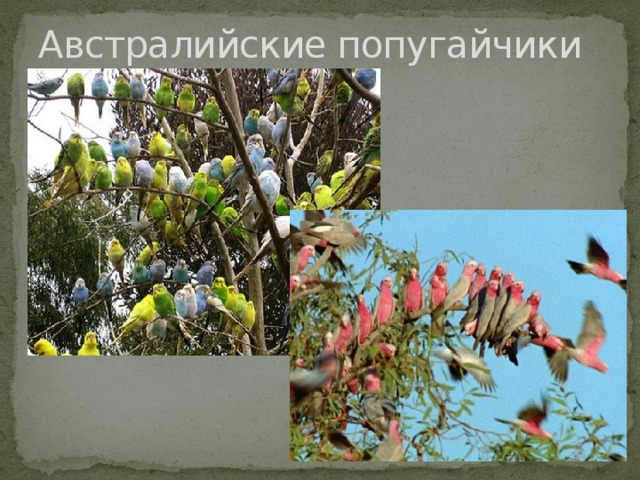 Австралийские попугайчики