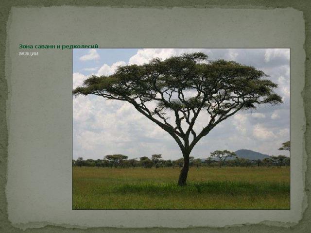 Зона саванн и редколесий  акации
