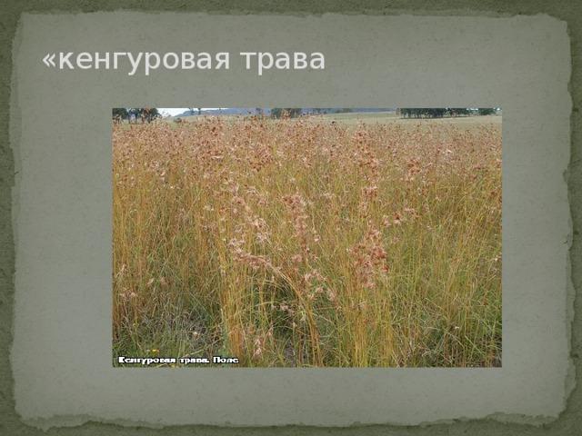 «кенгуровая трава