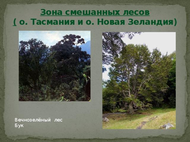 Зона смешанных лесов  ( о. Тасмания и о. Новая Зеландия) Вечнозелёный лес Бук