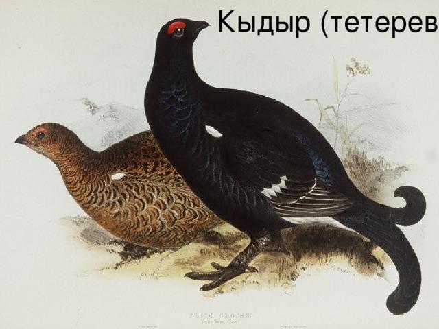Кыдыр (тетерев)