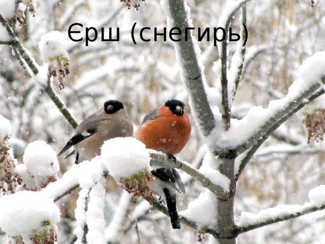Єрш (снегирь )