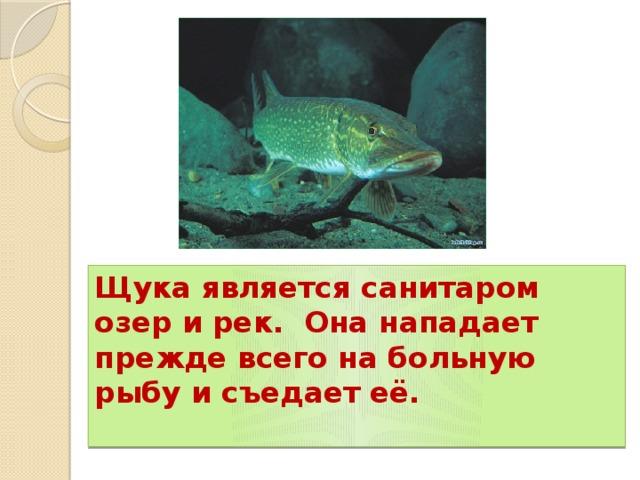 Щука является санитаром озер и рек. Она нападает прежде всего на больную рыбу и съедает её.