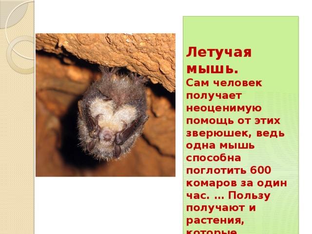 Летучая мышь. Сам человек получает неоценимую помощь от этих зверюшек, ведь одна мышь способна поглотить 600 комаров за один час. … Пользу получают и растения, которые опыляются летучими мышами, чье питание состоит из цветочного нектара и пыльцы .