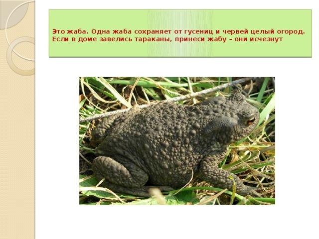 Это жаба. Одна жаба сохраняет от гусениц и червей целый огород. Если в доме завелись тараканы, принеси жабу – они исчезнут
