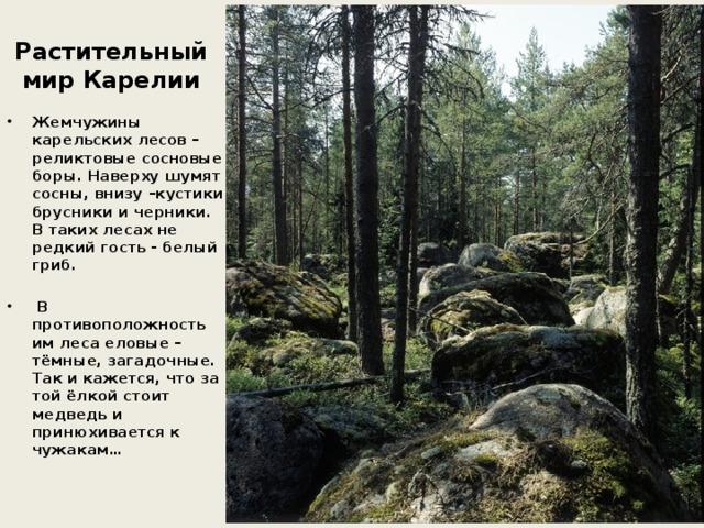 Растительный мир Карелии Жемчужины карельских лесов – реликтовые сосновые боры. Наверху шумят сосны, внизу –кустики брусники и черники. В таких лесах не редкий гость - белый гриб.