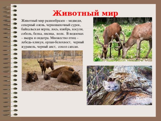 Животный мир Животный мир разнообразен – медведи, северный олень, черношапочный сурок, байкальская нерпа, лось, изюбрь, косуля, соболь, белка, лисица, волк. В водоемах – выдра и ондатра. Множество птиц – лебедь-кликун, орлан-белохвост, черный журавель, черный аист, сокол сапсан.