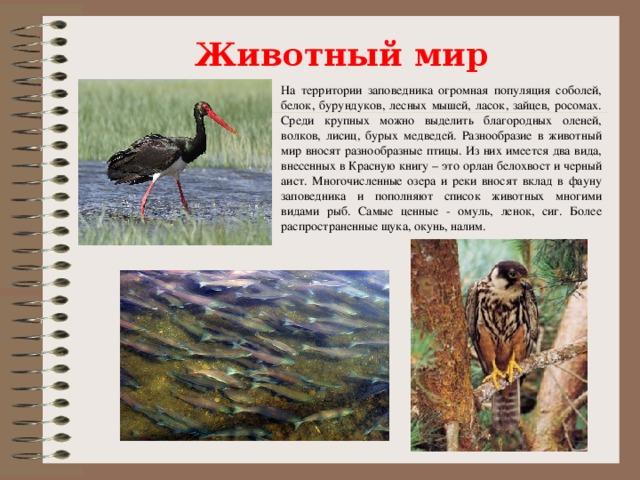 Животный мир На территории заповедника огромная популяция соболей, белок, бурундуков, лесных мышей, ласок, зайцев, росомах. Среди крупных можно выделить благородных оленей, волков, лисиц, бурых медведей. Разнообразие в животный мир вносят разнообразные птицы. Из них имеется два вида, внесенных в Красную книгу – это орлан белохвост и черный аист. Многочисленные озера и реки вносят вклад в фауну заповедника и пополняют список животных многими видами рыб. Самые ценные - омуль, ленок, сиг. Более распространенные щука, окунь, налим.