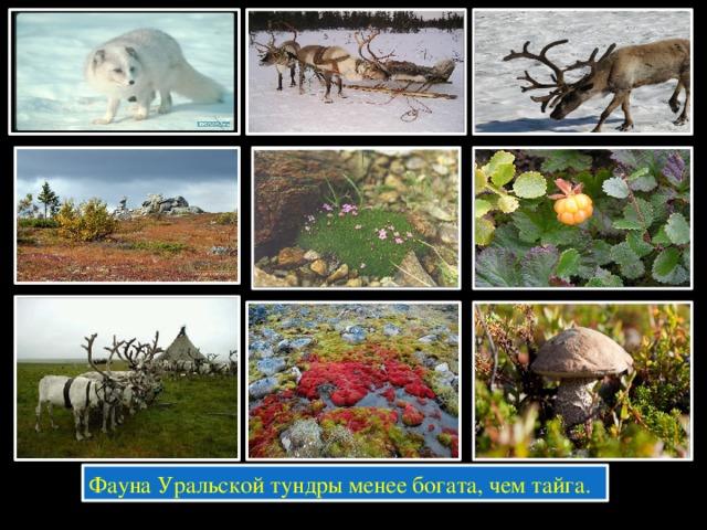 Фауна Уральской тундры менее богата, чем тайга.