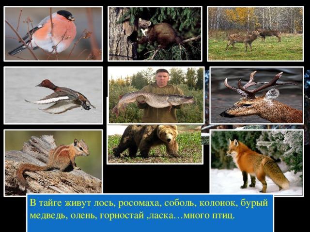 В тайге живут лось, росомаха, соболь, колонок, бурый медведь, олень, горностай ,ласка…много птиц.