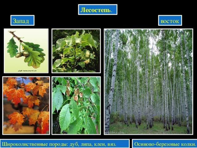 Лесостепь . Запад восток Широколиственные породы: дуб, липа, клен, вяз. Осиново-березовые колки.