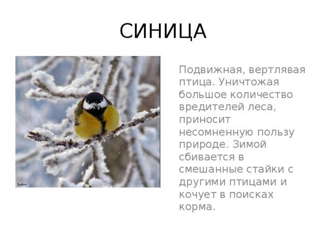 СИНИЦА Подвижная, вертлявая птица. Уничтожая большое количество вредителей леса, приносит несомненную пользу природе. Зимой сбивается в смешанные стайки с другими птицами и кочует в поисках корма.