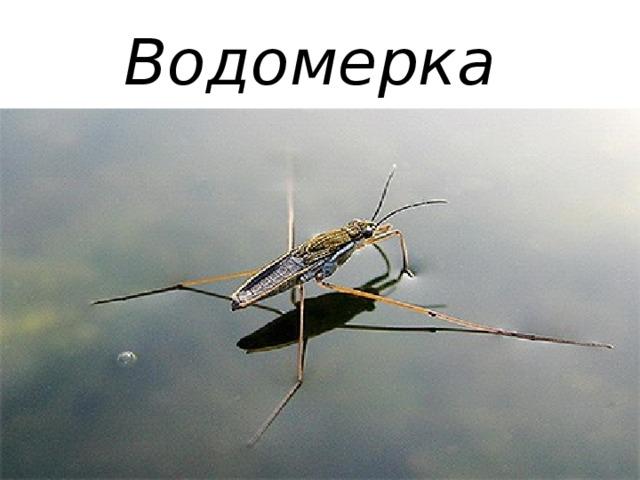 Водомерка
