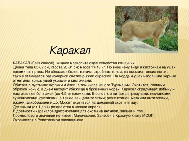 Каракал КАРАКАЛ (Felis caracal), хищное млекопитающее семейства кошачьих. Длина тела 65-82 см, хвоста 20-31 см; масса 11-13 кг. По внешнему виду и кисточкам на ушах напоминает рысь. Но обладает более тонким, стройным телом, на высоких тонких ногах; также отличается равномерной светло-рыжей окраской. На морде и ушах небольшие черные отметины, концы ушей украшены кисточками. Обитает в пустынях Африки и Азии, в том числе на юге Туркмении. Охотится, главным образом ночью, а днем находит убежище в брошенных норах. Каракал скрадывает добычу и настигает ее большими (до 4.5 м) прыжками. В основном питается грызунами: песчанками, тушканчиками, сусликами, а также зайцами-толаями; реже птицей, мелкими антилопами, ежами, дикобразами и др. Может охотиться на домашний скот и птицу. Детеныши (от 1 до 4) рождаются в начале апреля. В древности каракалов дрессировали для охоты на антилоп, зайцев и птиц. Промыслового значения не имеет. Малочислен. Занесен в Красную книгу МСОП. Охраняется в Репетекском заповеднике.