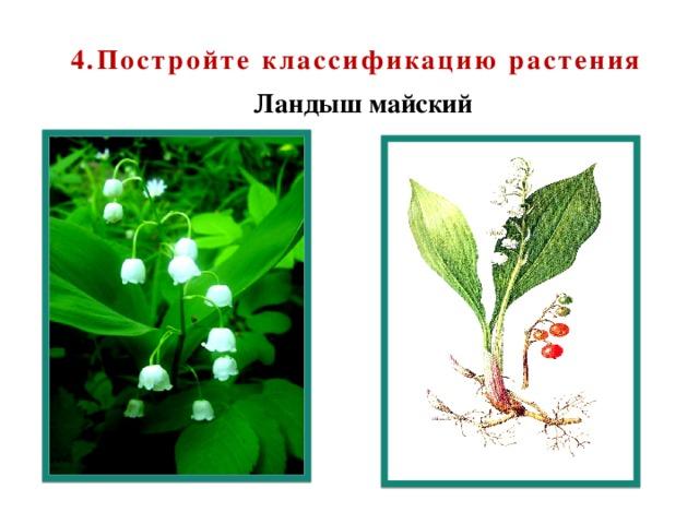 4.Постройте классификацию растения Ландыш майский