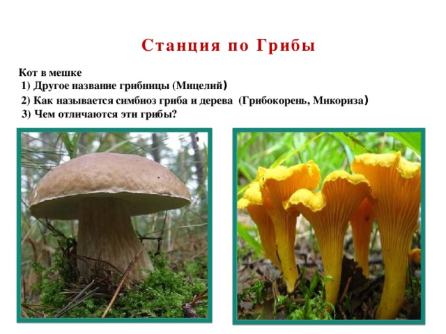 Станция по Грибы Кот в мешке  1)Другое название грибницы (Мицелий )  2)Как называется симбиоз гриба и дерева (Грибокорень, Микориза ) 3) Чем отличаются эти грибы?