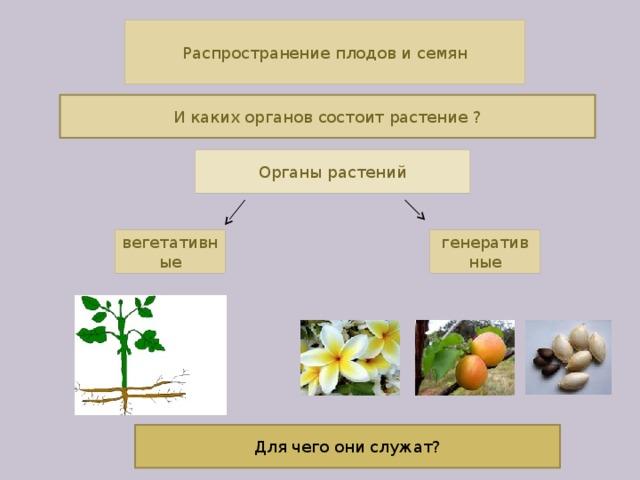 Распространение плодов и семян И каких органов состоит растение ? Органы растений вегетативные генеративные Для чего они служат?