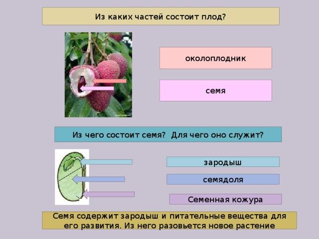 Из каких частей состоит плод? околоплодник семя Из чего состоит семя? Для чего оно служит? зародыш семядоля Семенная кожура Семя содержит зародыш и питательные вещества для его развития. Из него разовьется новое растение