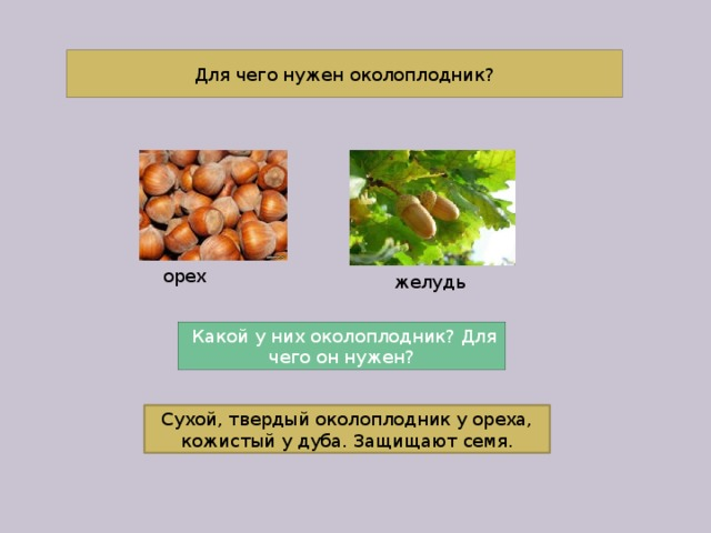 Для чего нужен околоплодник? орех желудь  Какой у них околоплодник? Для чего он нужен? Сухой, твердый околоплодник у ореха, кожистый у дуба. Защищают семя.