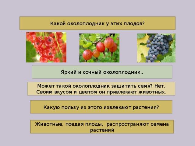Какой околоплодник у этих плодов? Яркий и сочный околоплодник.. Может такой околоплодник защитить семя? Нет. Своим вкусом и цветом он привлекает животных. Какую пользу из этого извлекают растения? Животные, поедая плоды, распространяют семена растений