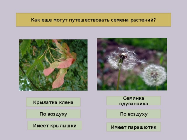 Как еще могут путешествовать семена растений? Семянка одуванчика Крылатка клена По воздуху По воздуху Имеет крылышки Имеет парашютик