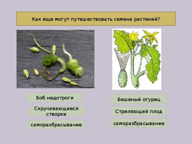 Как еще могут путешествовать семена растений? Боб недотроги Бешеный огурец Скручивающиеся створки Стреляющий плод саморазбрасывание саморазбрасывание