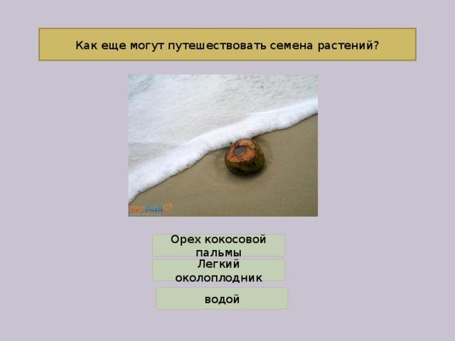 Как еще могут путешествовать семена растений? Орех кокосовой пальмы Легкий околоплодник водой