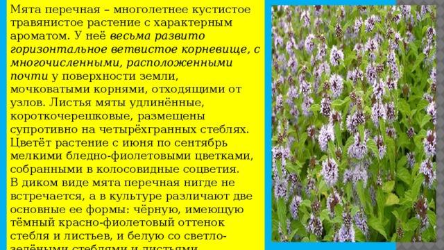 Мята перечная – многолетнее кустистое травянистое растение с характерным ароматом. У неё весьма развито горизонтальное ветвистое корневище, с многочисленными, расположенными почти у поверхности земли, мочковатыми корнями, отходящими от узлов. Листья мяты удлинённые, короткочерешковые, размещены супротивно на четырёхгранных стеблях. Цветёт растение с июня по сентябрь мелкими бледно-фиолетовыми цветками, собранными в колосовидные соцветия.  В диком виде мята перечная нигде не встречается, а в культуре различают две основные ее формы: чёрную, имеющую тёмный красно-фиолетовый оттенок стебля и листьев, и белую со светло-зелёными стеблями и листьями.