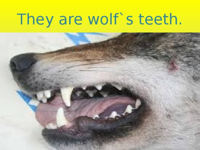 They are wolf`s teeth.