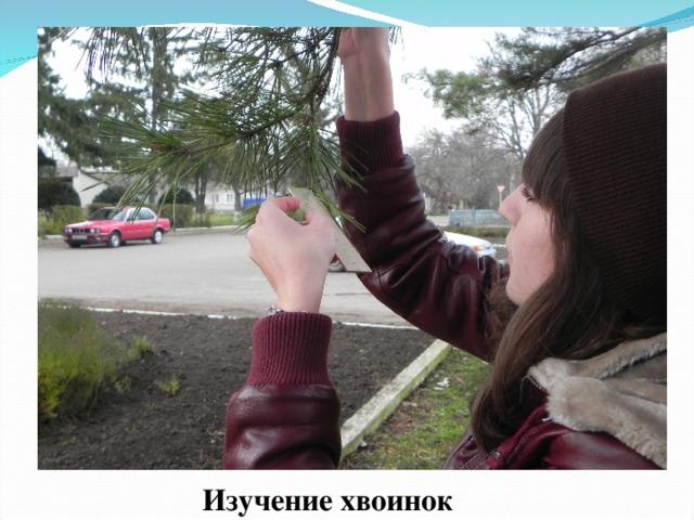Изучение хвоинок