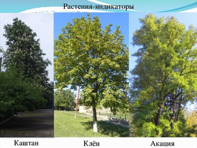 Растения-индикаторы Каштан Клён Акация