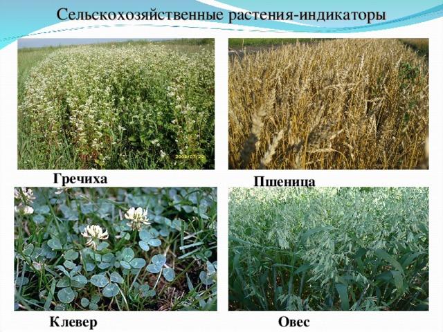 Сельскохозяйственные растения-индикаторы Гречиха Пшеница Клевер Овес