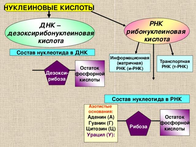 НУКЛЕИНОВЫЕ КИСЛОТЫ РНК рибонуклеиновая кислота ДНК –  дезоксирибонуклеиновая  кислота Состав нуклеотида в ДНК Информационная (матричная) РНК (и-РНК) Транспортная РНК (т-РНК) Дезокси- рибоза Остаток фосфорной кислоты Состав нуклеотида в РНК Азотистые основания: Аденин (А) Гуанин (Г) Цитозин (Ц) Урацил (У):  Остаток фосфорной кислоты Рибоза