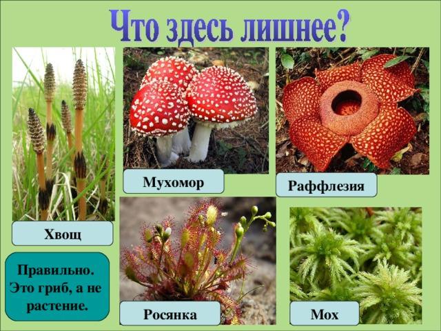 Мухомор Раффлезия Хвощ Правильно. Это гриб, а не растение. Росянка Мох