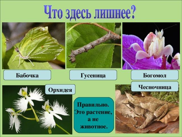 Бабочка Гусеница Богомол Чесночница Орхидея Правильно. Это растение, а не животное.