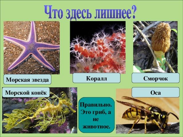 Коралл Сморчок Морская звезда Морской конёк Оса Правильно. Это гриб, а не животное.