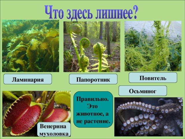 Повитель Ламинария Папоротник Осьминог Правильно. Это животное, а не растение. Венерина мухоловка