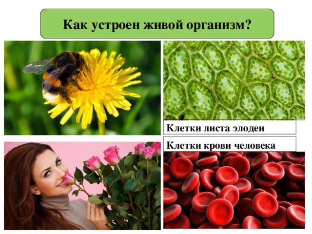 Как устроен живой организм? Клетки листа элодеи Клетки крови человека