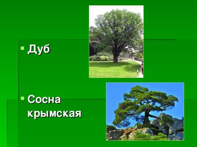 Дуб   Сосна крымская