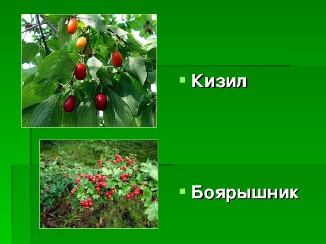 Кизил    Боярышник
