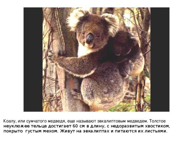 Коалу, или сумчатого медведя, еще называют эвкалиптовым медведем. Толстое неуклюжее тельце достигает 60 см в длину, с недоразвитым хвостиком, покрыто густым мехом. Живут на эвкалиптах и питаются их листьями.